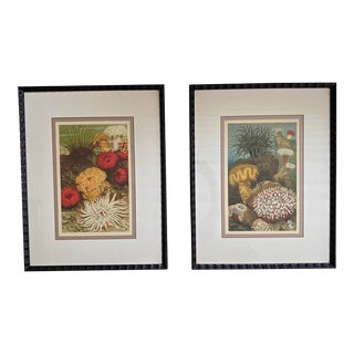 Substantial Sea Anemone, Urchin and Coral Specimen Illustrated Prints, Framed - a Pair For Sale