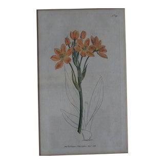 Orange Hand-Colored Botanical Print