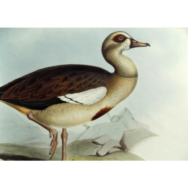 1837 Egyptian Goose John Gould Print For Sale - Image 4 of 6