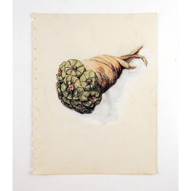 Colored pencil on paper drawing of peyote bundle. Unsigned. Unframed, age toning, edge perforations from sketch book.
