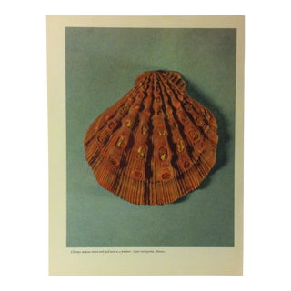 """1957 """"Chlamy Nodosus Inlaid With Gold Used as a Pendant"""" the Influence of the Shell to Humankind Print For Sale"""