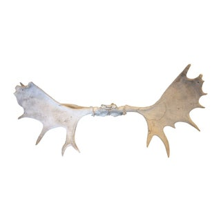 Moose Antler Rack Wall Mount For Sale