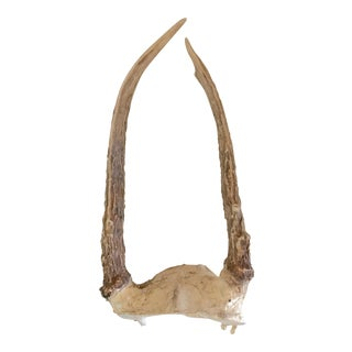 Natural Deer Horns