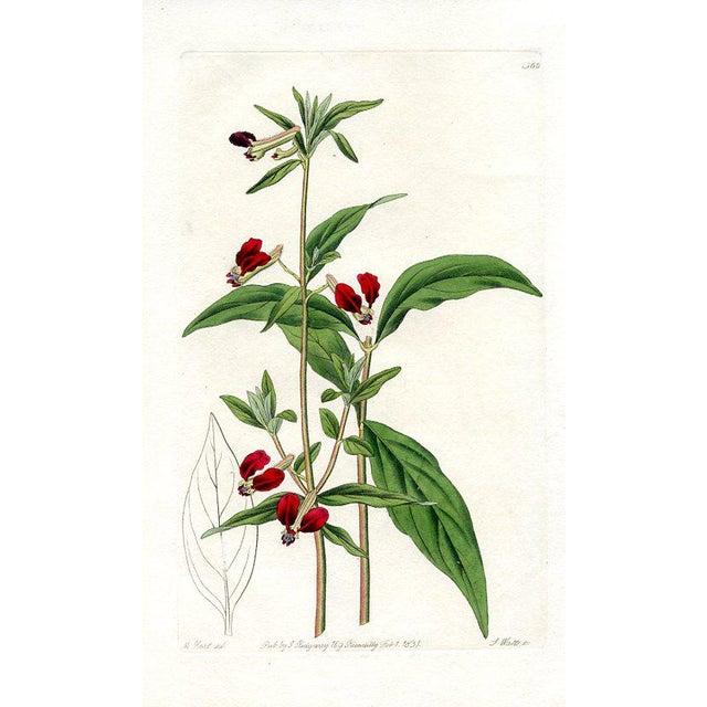 Illustration Mexican Bat Flower, 1831 Botanical Print For Sale - Image 3 of 3