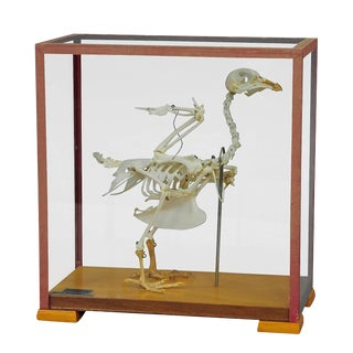 Vintage Pigeon Skeleton Model For Class Circa 1950 For Sale