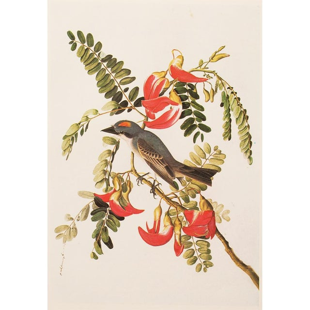 A stunning large vintage reproduction of the original lithographic print of Gray Kingbird by John James Audubon from his...