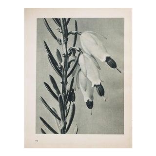 Karl Blossfeldt Photogravure N93-94, 1935