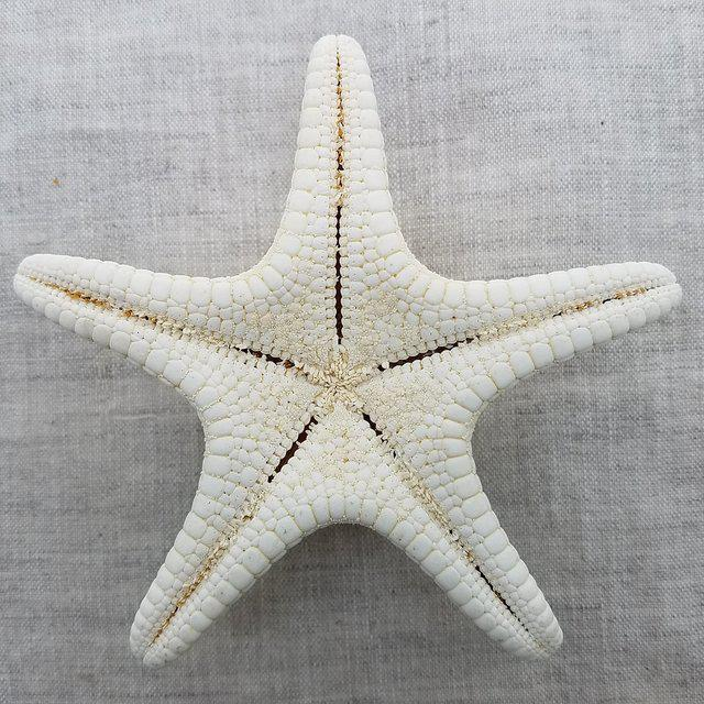 Natural Starfish Specimen, 8 Pieces For Sale In Dallas - Image 6 of 8