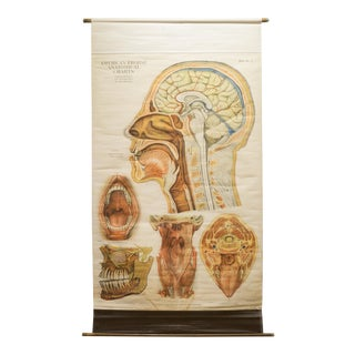 American Frouse Anatomical Medical Teaching Chart C.1918 For Sale