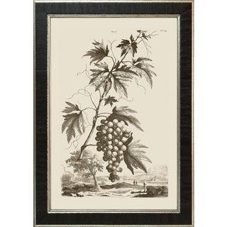 Abraham Munting #59 Grapes; Vitis Virginiana Folis Laciniatis Framed Giclee For Sale