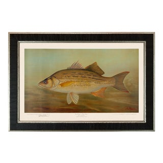 American Fish 36 the White or Silver Bass by Harris CFA Edition Giclee Print For Sale