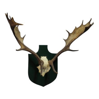 Black Forest Fallow Deer Trophy From Salem - Spain 1984 For Sale