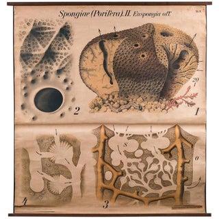 Vintage French Scientific School Chart of Hydra by Paul Pfurtscheller For Sale