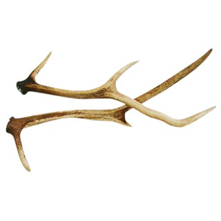 Large Natural Shed Deer Antlers - a Pair