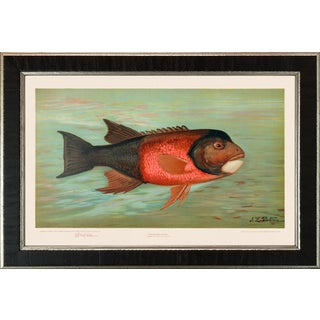 American Fish 30 the California Redfish by Harris CFA Edition Giclee Print For Sale