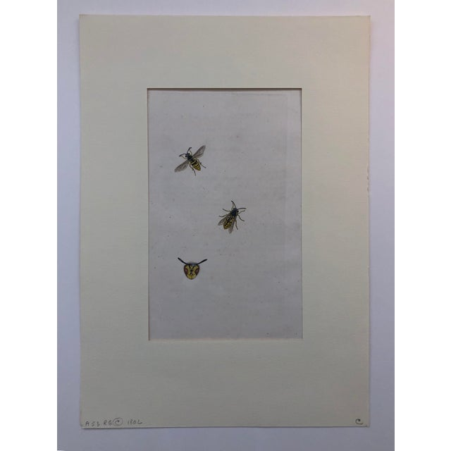 These are Vespa Vulgaris (European Wasps) but they look like Bees. From a group 19th century hand colored engravings of...