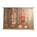 1960s Vintage Hagemann for Denoyer-Geppert German Human Nervous System Pull-Down Chart