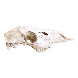 Vintage Texan Deer Skull For Sale