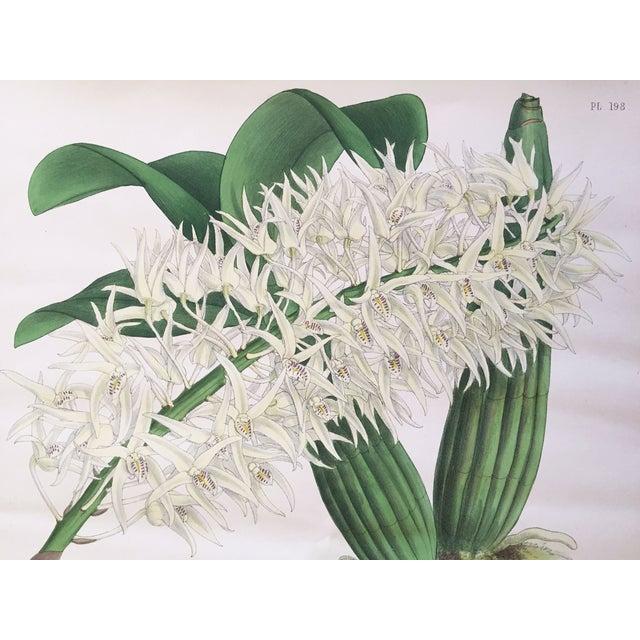 """""""Dendrobium Hillii"""" Orchid Antique Botanical Print - Image 5 of 5"""
