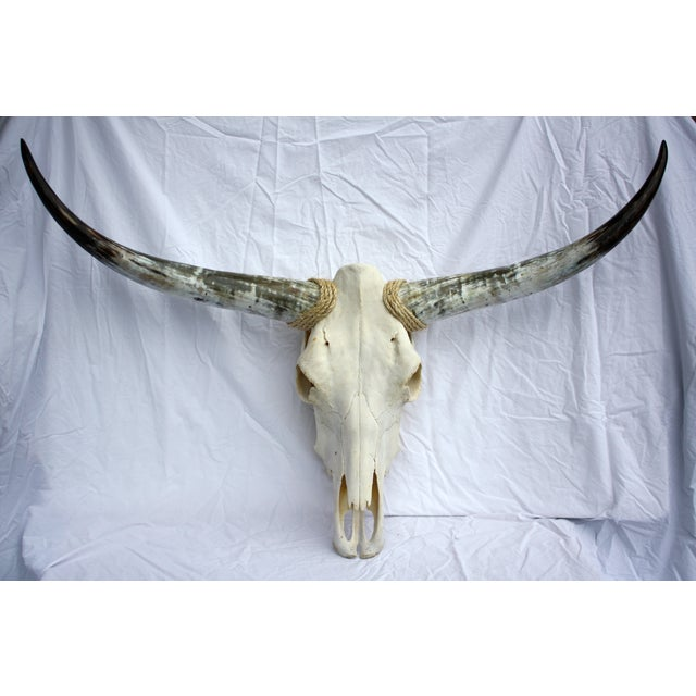 Texas Longhorn skull and horns suitable for display or hanging in a den or mancave. We love how the horns have a color...