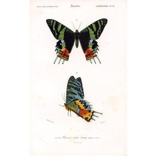 Madagascan Sunset Moth, 1849 Lithograph For Sale