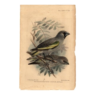 """Rhyhchostruthus Louisae"" Limited Edition Bird Lithograph, Originally Hand-Colored and Pencil Signed by J. G. Keulemans Del. Et Lith. 1898 For Sale"