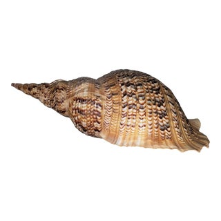 Pacific Ocean Island Shell For Sale