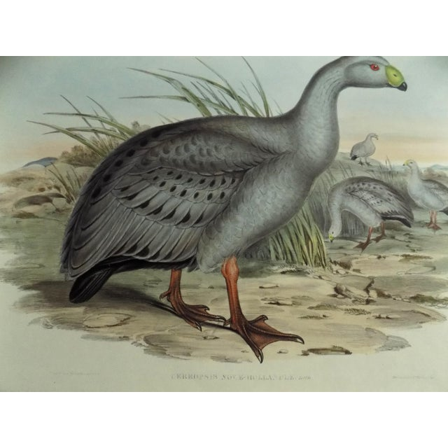English 1840s Cape Barren Goose John Gould Print For Sale - Image 3 of 11