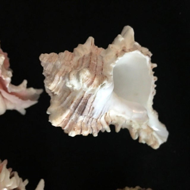 Murex Shell Lot - Set of 8 Shells For Sale - Image 4 of 12