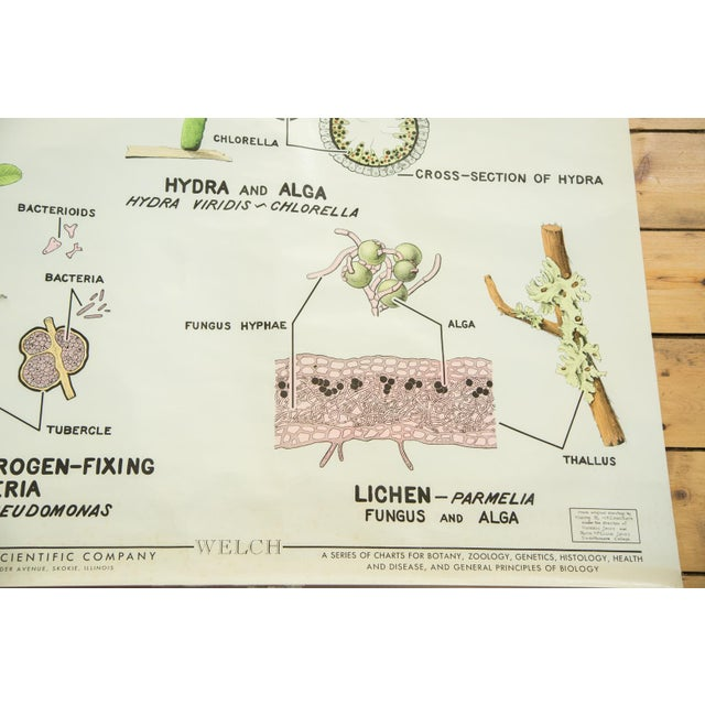 Vintage 1960s Pull Down Science Chart of Symbiosis For Sale - Image 4 of 6