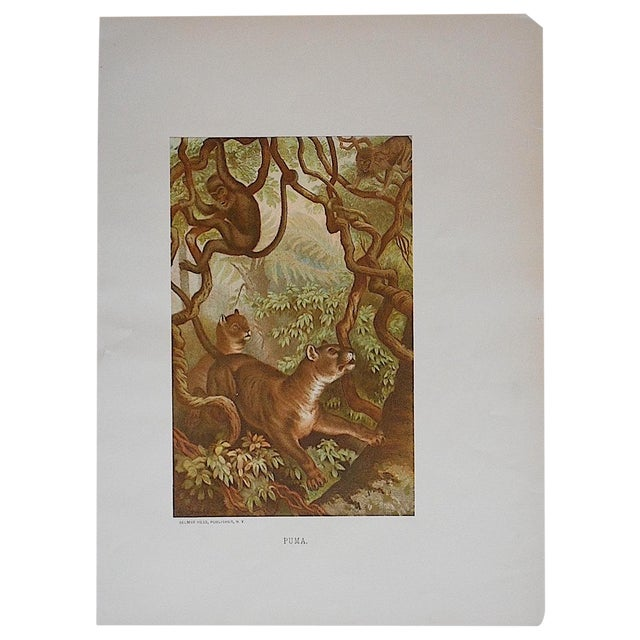 Antique Puma Lithograph Print For Sale