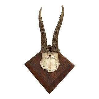 German Roe Deer Antlers With Partial Skull For Sale