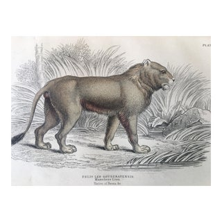 19th Century Jardine Maneless Lion Engraving Print