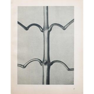 Karl Blossfeldt Double Sided Photogravure N17-18