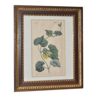 Curtis Botanical Hand Colored Engraving c.1804