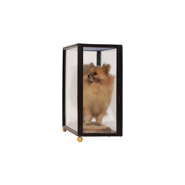 Pomeranian Taxidermy in Glazed Display Cabinet For Sale - Image 6 of 7