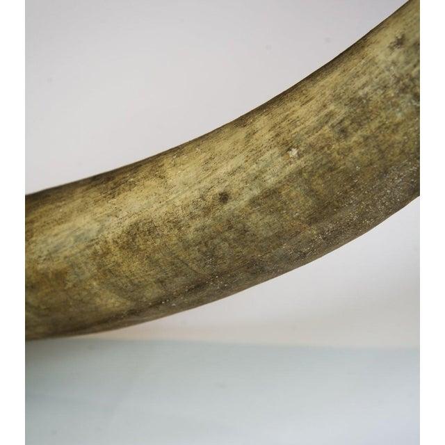 Texas Longhorn Skull Mount For Sale - Image 10 of 11