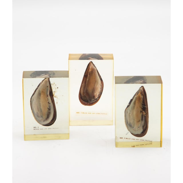 Pierre Giraudon Pierre Giraudon Mussels Encased in Resin - Set of 3 For Sale - Image 4 of 5