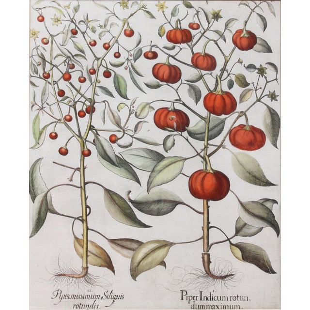 """""""Tomatoes"""" Botanical Engravings by Basilius Besler - a Pair For Sale - Image 4 of 6"""