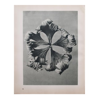 1935 Karl Blossfeldt Two-Sided Photogravure N37-38 For Sale