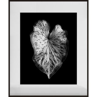 """Caladium Leaf"" Contemporary Photograph by Jean Karotkin, Framed For Sale"