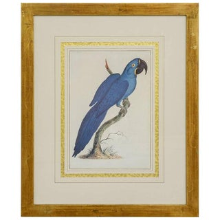 Hand Colored Ornithological Engraving of a Blue Parrot For Sale