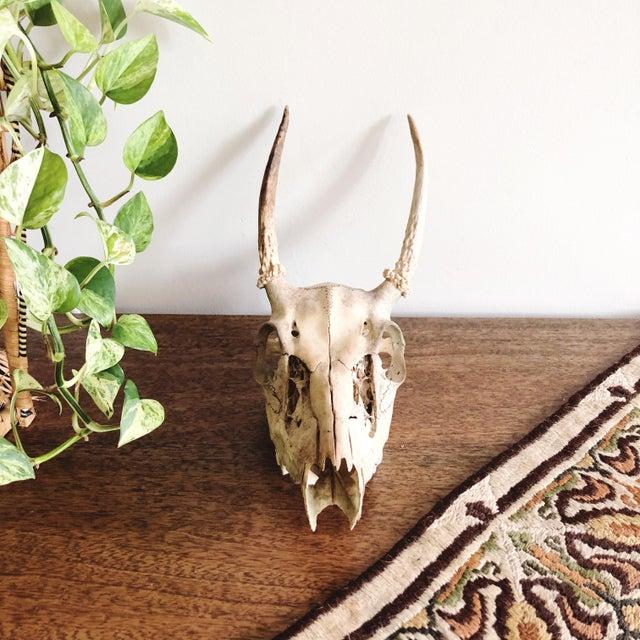 Rustic Vintage Deer Skull and Antlers For Sale - Image 3 of 7