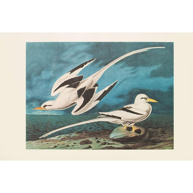 A stunning extra large vintage reproduction of the original lithographic print of White-tailed Tropic Bird by John James...