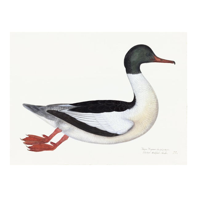 Male Goosander Plate 22 by Olof Rudbeck (Cfa-Wd) For Sale