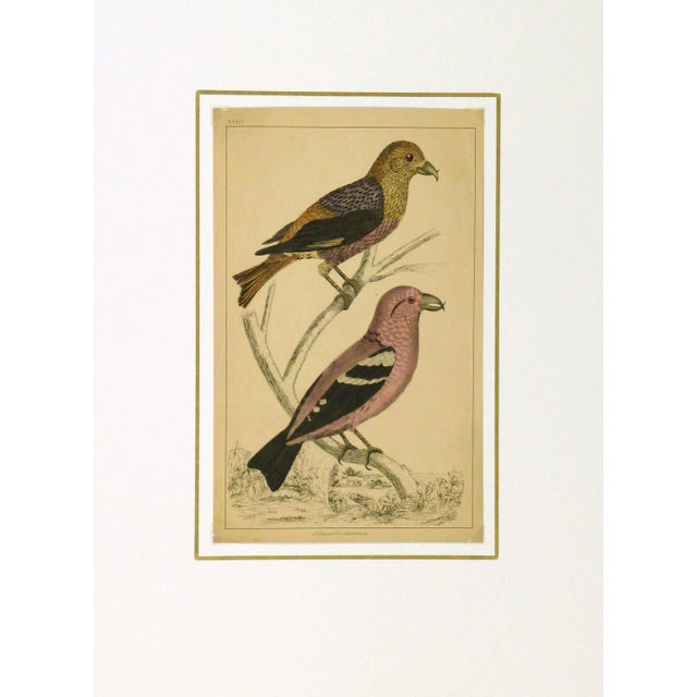 Antique Crossbill Birds Engraving, C. 1850 - Image 3 of 3