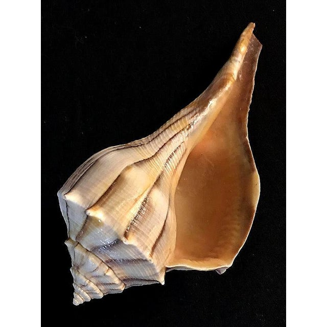 Shell Busycon Carica Seashell Brown Striped Shell For Sale - Image 7 of 7