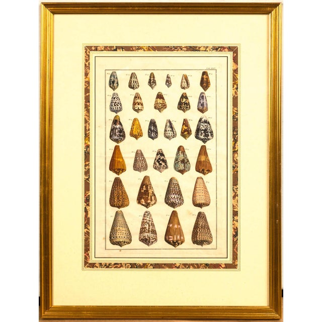 Pair of Framed Hand-Colored Lithographs of Shell Species, 19th Century For Sale - Image 4 of 11