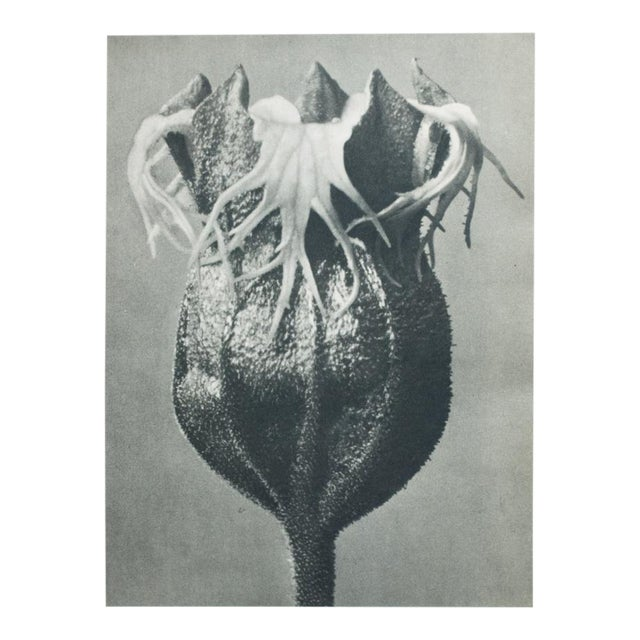 Blossfeldt Double Sided Photogravure - Image 1 of 11
