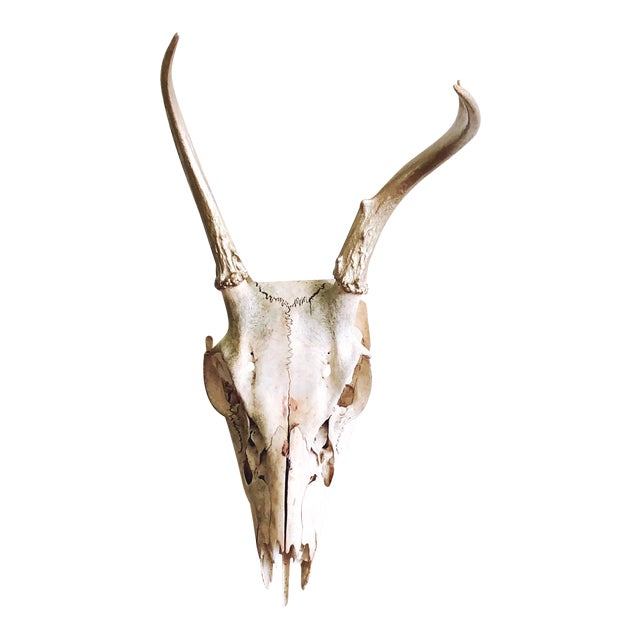 Vintage Deer Skull With Gold Painted Antlers For Sale